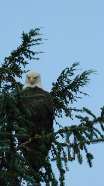 Ketchikan Lighthouse, Totems and Eagles Cruise Excursion Up close and personal with a bald eagle