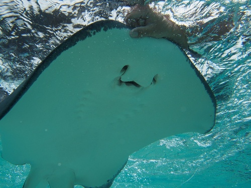 Grand Cayman  Cayman Islands stingray encounter Excursion Reviews