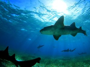 Belize Hol Chan One Tank SCUBA Dive and Shark Ray Alley Snorkel Excursion by Air