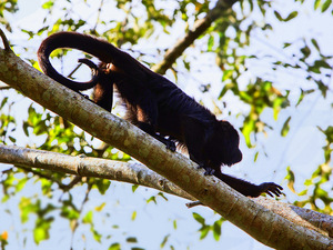 Belize Howler Monkey Jungle Sanctuary and Sightseeing Excursion