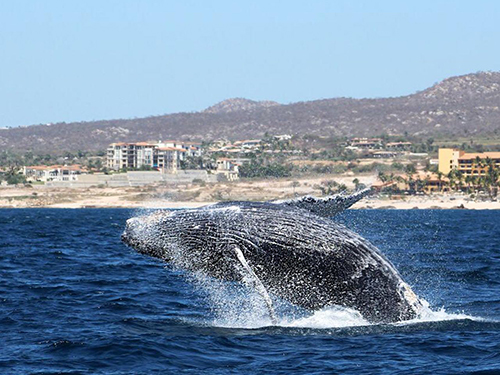 Cabo San Lucas Mexico Lovers Beach Whale Watching Shore Excursion Prices