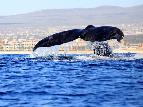Cabo San Lucas Sea Lions Whale Watching Tour Tickets