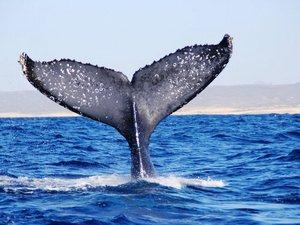 Cabo San Lucas Whale Watching Excursion with Breakfast and Open Bar