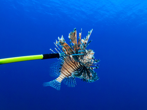 Costa Maya Lionfish Hunt SCUBA Dive and Tasting Excursion