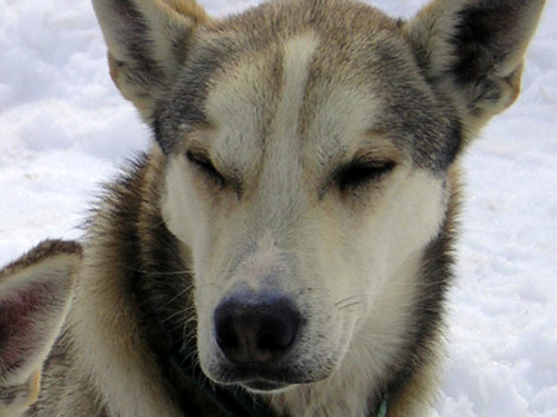 Juneau dog sled Cruise Excursion Reviews