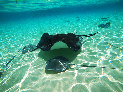 Grand Cayman Cayman Islands Stingray City Cruise Excursion Prices