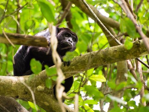 Harvest Caye Howler Monkey bTour Reviews