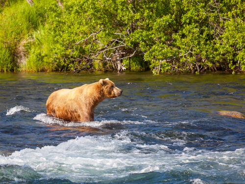 Icy Strait (Hoonah) Brown bear Excursion Tickets