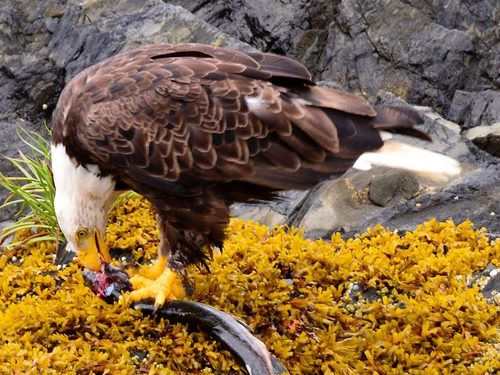 Ketchikan Alaska Eagles Shore Excursion Booking