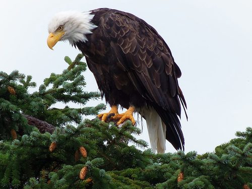 Ketchikan Alaska Eagles Shore Excursion Cost