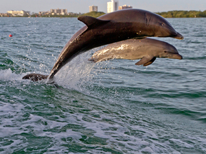Port Canaveral Orlando Wild Dolphin Encounter Boat Ride Excursion in Clearwater Beach