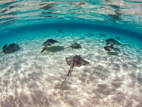 Grand Cayman  Cayman Islands southern stingray Cruise Excursion Reservations